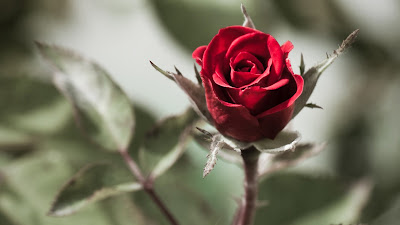 Beautiful Lovely Red Rose Free Desktop Wallpapers