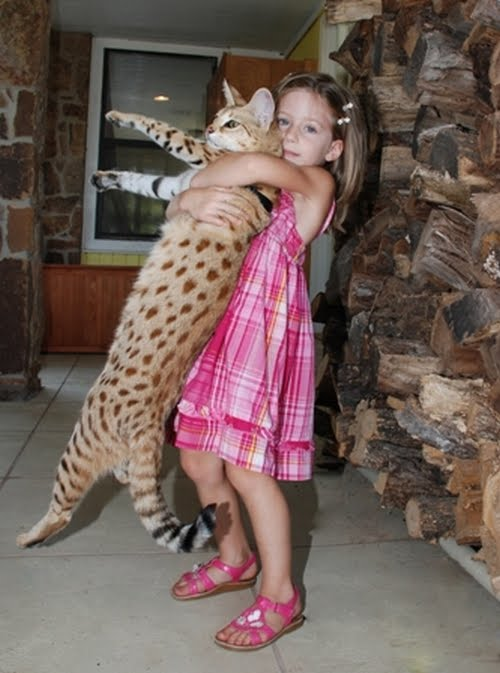 leopard the savannah cats