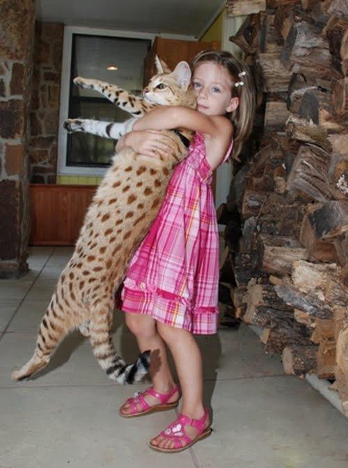 Savannah kittens in africa?