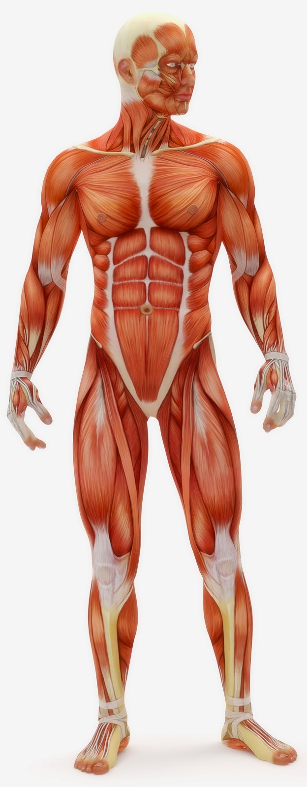 Amy Brown Science Human Body The Skeletal Muscular And