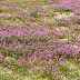 Wordless Wednesday - Henbit