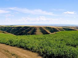 Field of Lentils