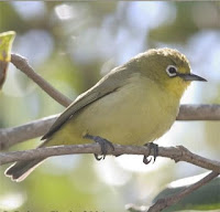 Pleci Papua, Zosterops novaeguineae