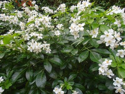 Evergreen shrubs picture gallery gardenandhealth lush shiny dark green leaves and scented of white flowers growing in clusters mightylinksfo Gallery