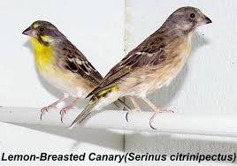 Burung Blackthroat :Ciri-Ciri Dan Cara Mudah Membedakan Burung Kenari Afrika (Blacktroat) Jantan dan Burung Kenari Afrika (Blacktroat) Betina - Burung Kicau - Birds Chirping
