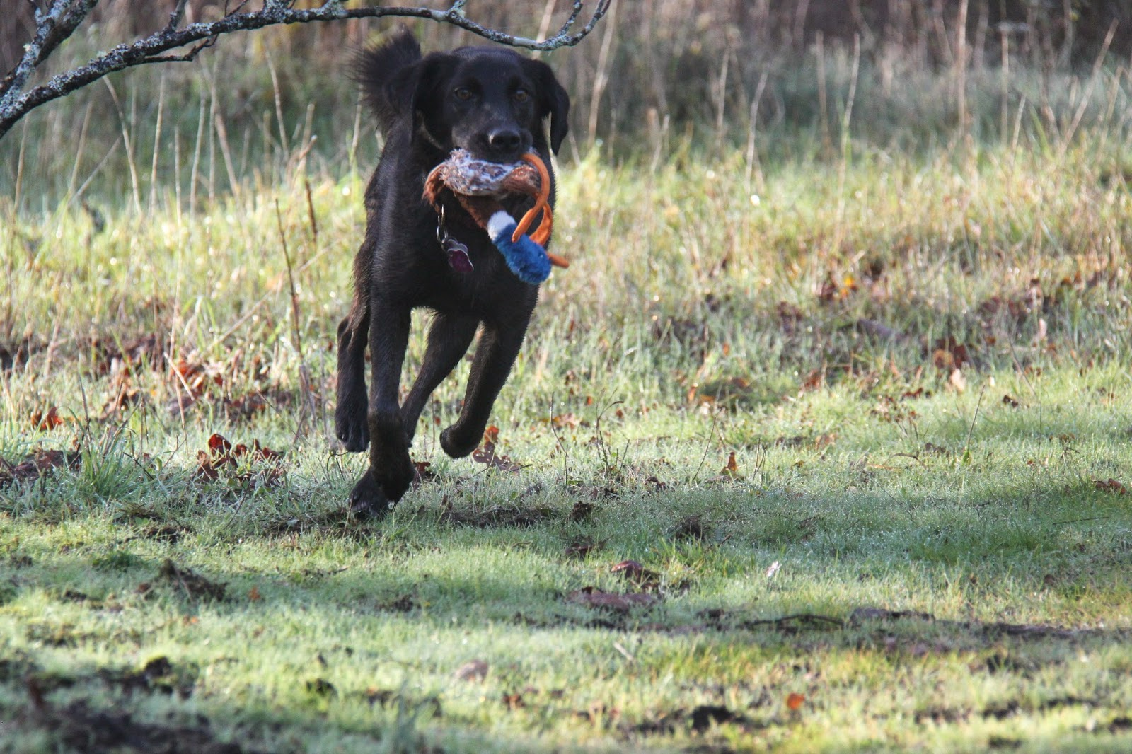 how to train a dog to fetch ducks