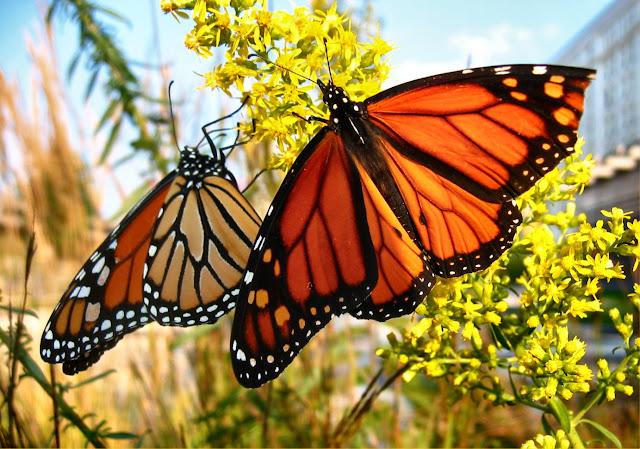 the garden Monarch Butterflies