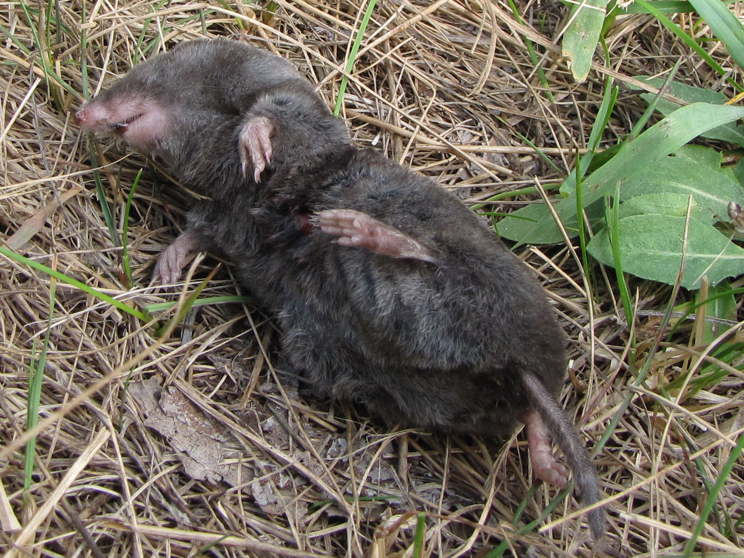 short-tailed shrew