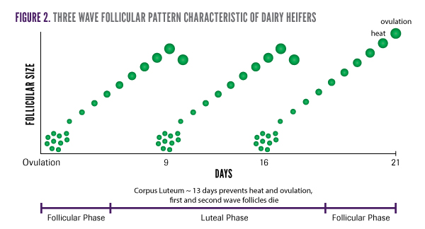 Dairy heifers tend to have a 3-wave follicular pattern | Genex