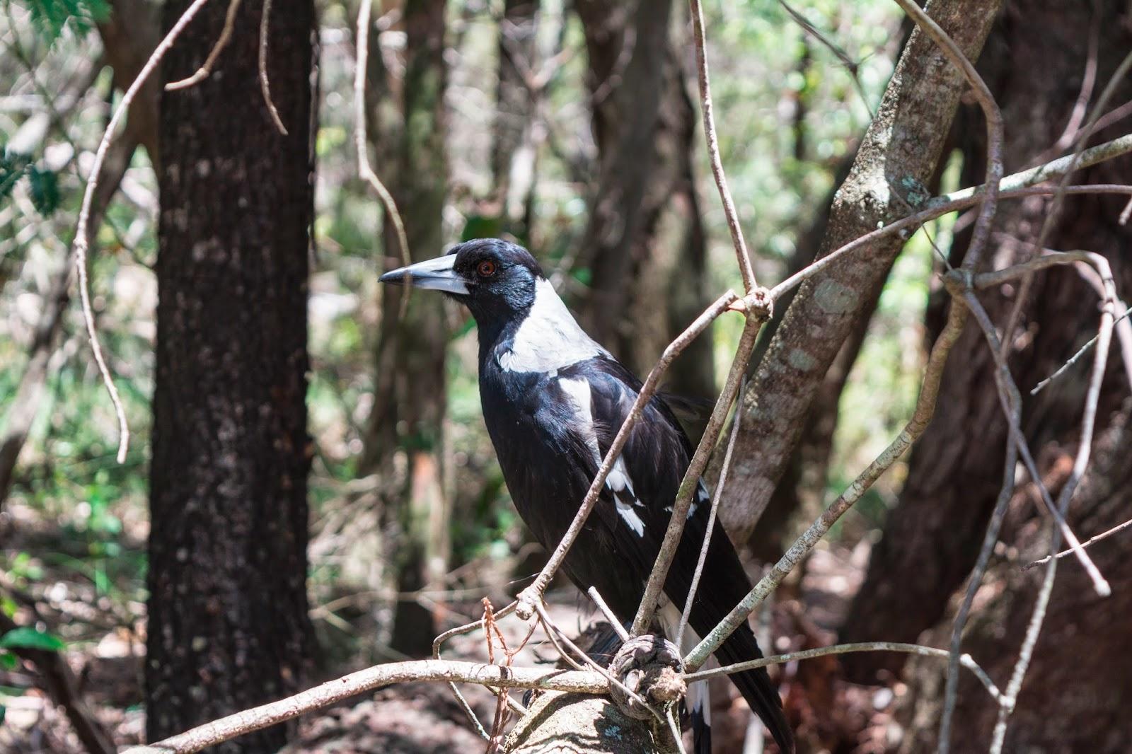 австралийский мэгпай australian magpie