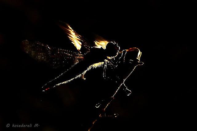 ters ışıkta yusufçuk
