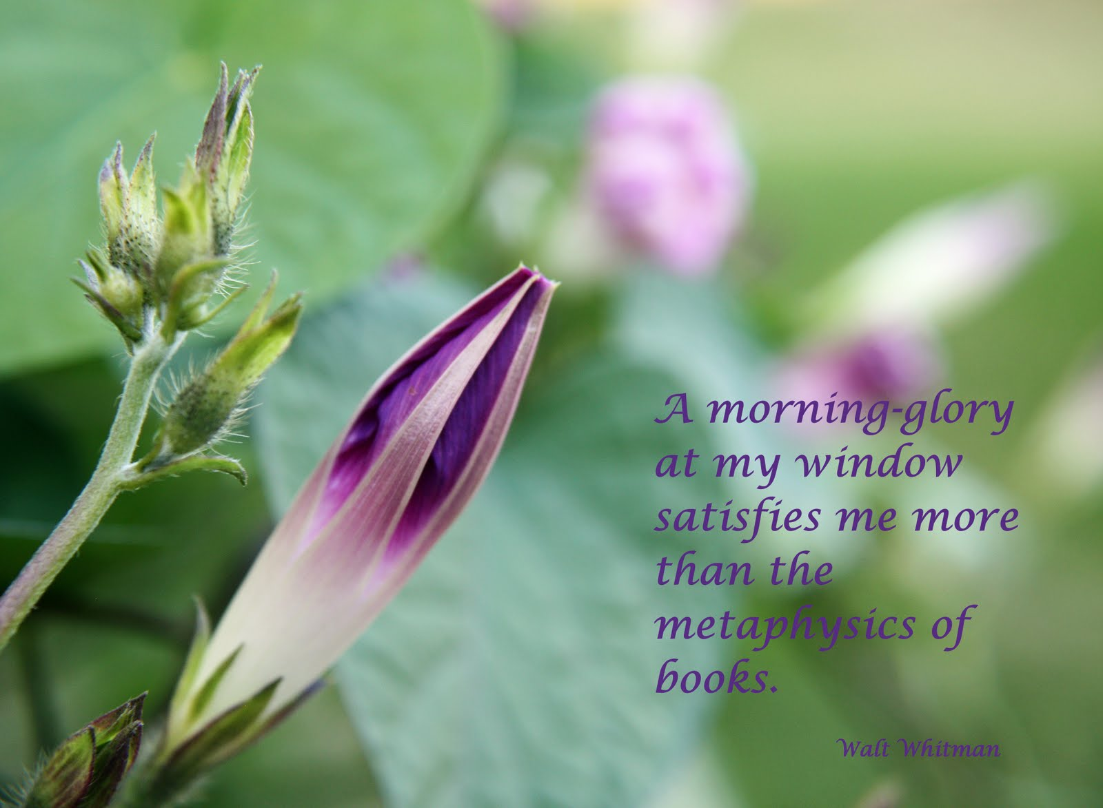 Morning Glory Flower Quotes. QuotesGram