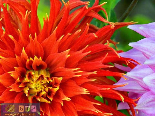 صور ورد احمر وردة حمراء مميزة