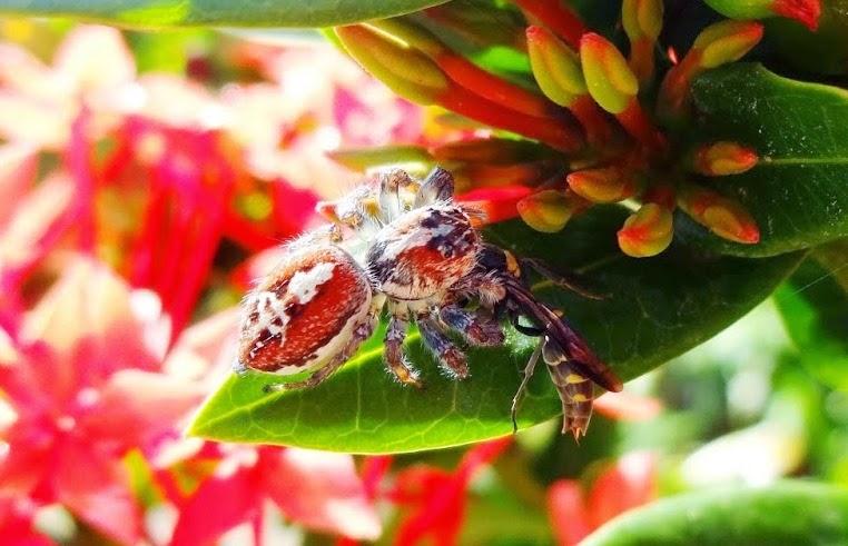 Família Salticidae, Gênero Frigga