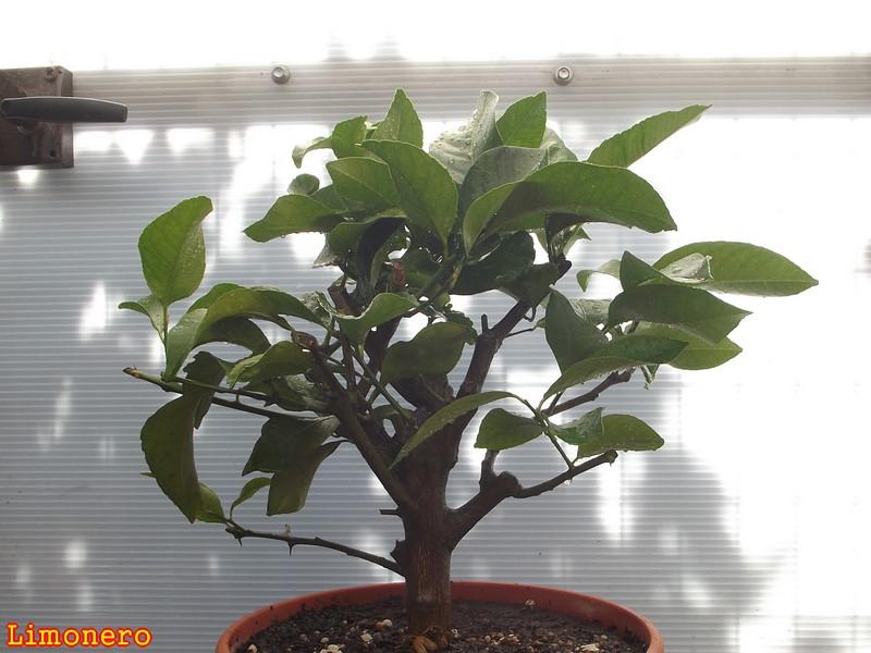 """cómo cultivar árboles cítricos en maceta """"el invitado de hoy es .."""""""