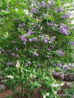 Bondsyrener Syringa vulgaris