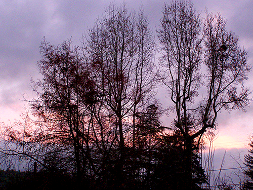 Dark trees with grey clouds and pinkish reflections