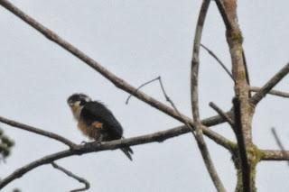 Black-thighed Falconet (Microhierax fringillarius)