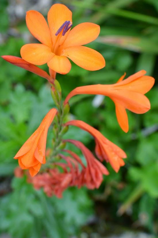 Orange flower Tresco Abbey Gardens