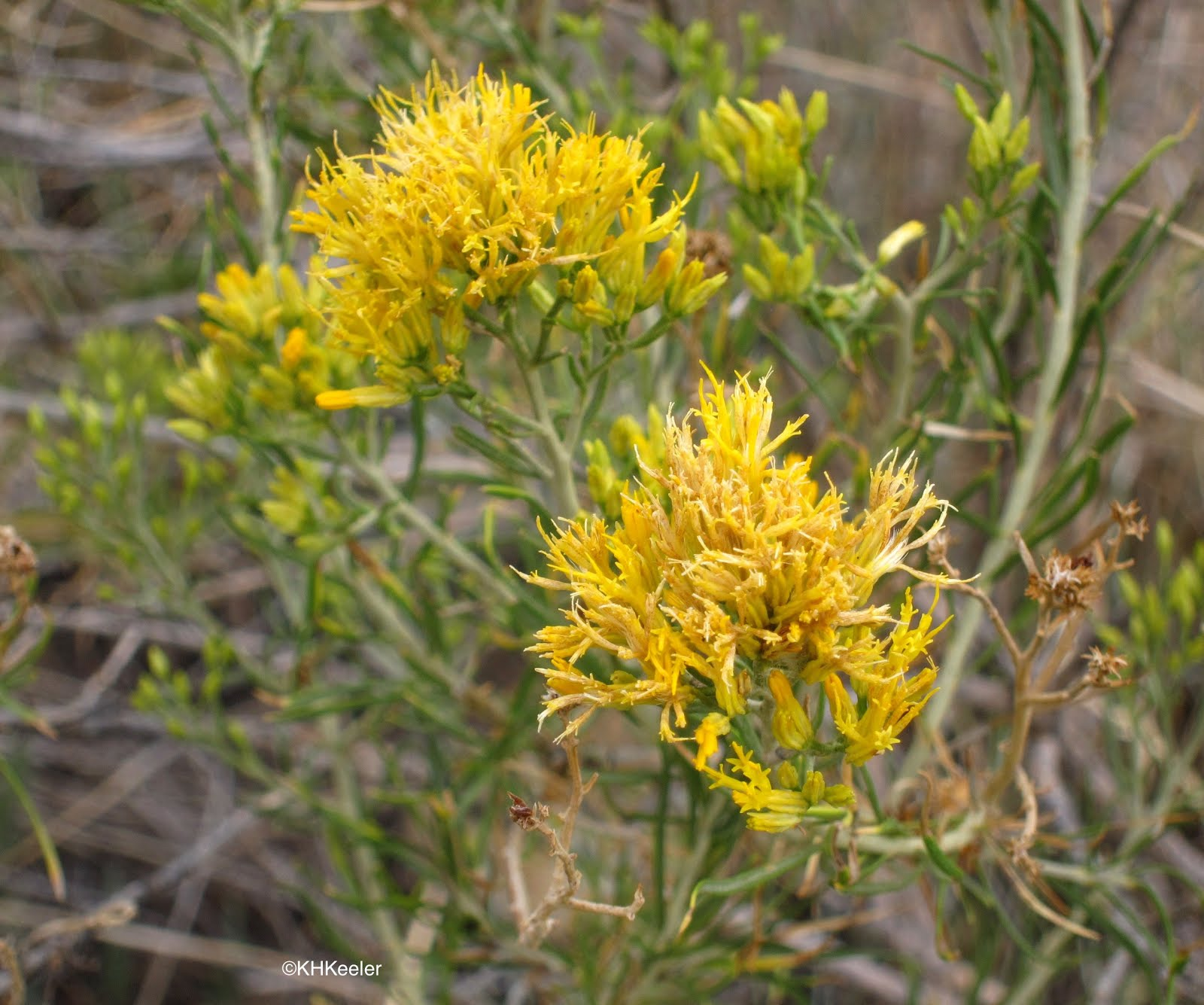 A wandering botanist plant story rubber rabbitbrush painting the there are 31 species of ericameria in the western united states and 13 species of chrysothamnus many of both of these are called rabbitbrush mightylinksfo Images