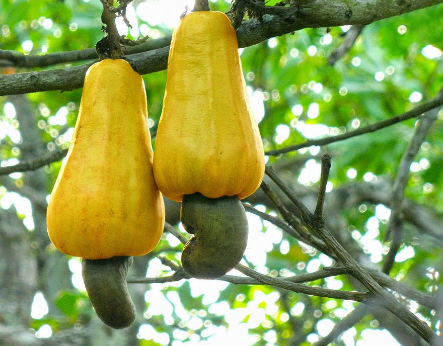 Do You Know What Your Favorite Foods Look Like While Growing - Cashews growing off the end of the cashew apple.