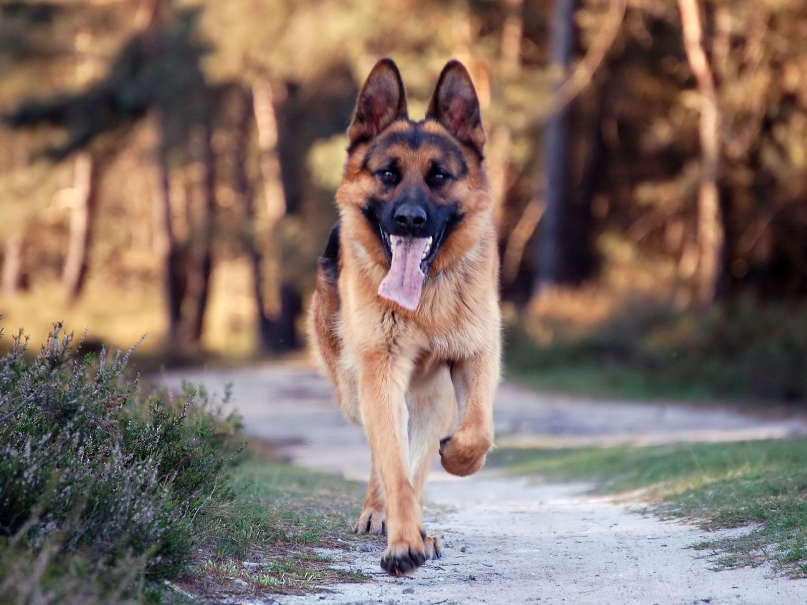 http://1.bp.blogspot.com/-8Ga9lfhVx9M/UY9YKyHrbyI/AAAAAAAAIxo/MOPv96ngGBQ/s1600/German+Shepherd+Dog+hd+Wallpaper+2013+01.jpg