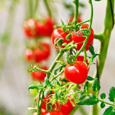 Jitomates rojos del huerto - Verduras listas para comer