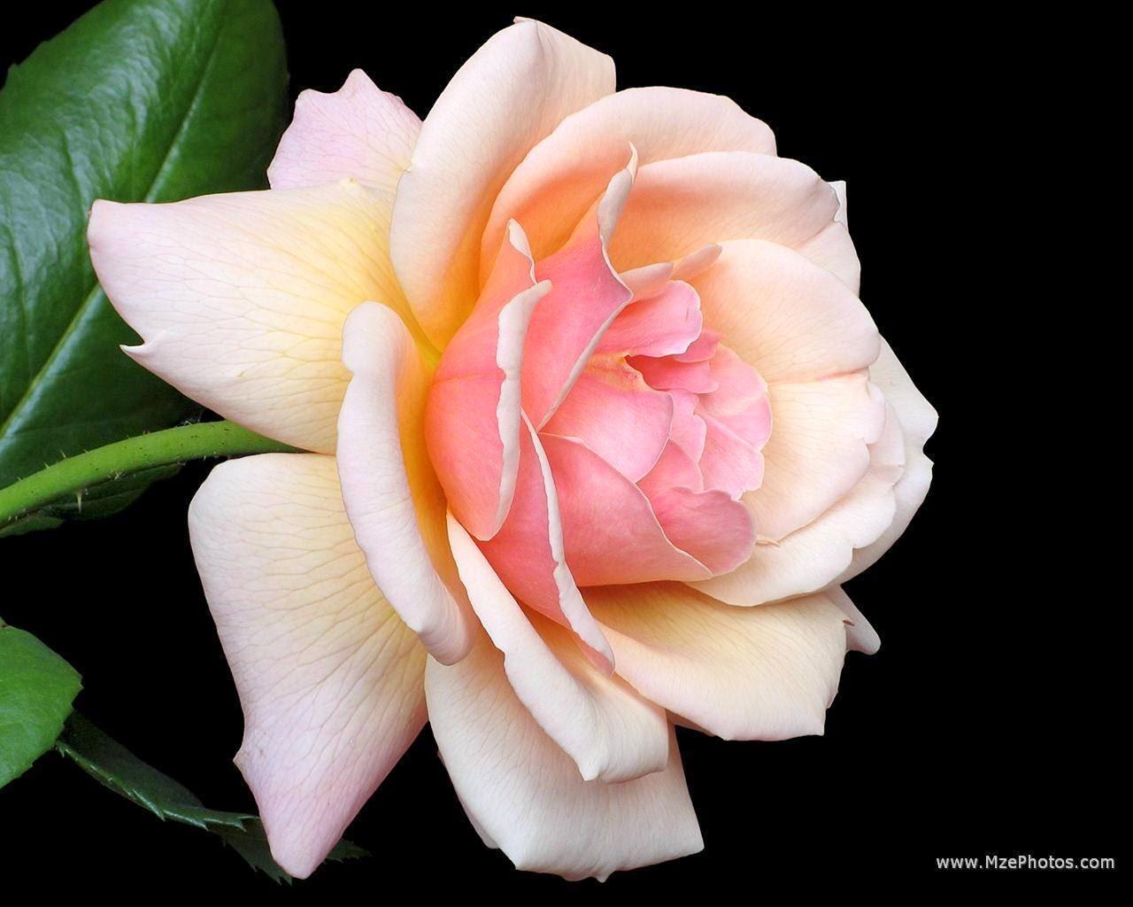 Uma Rosa... Rosa!