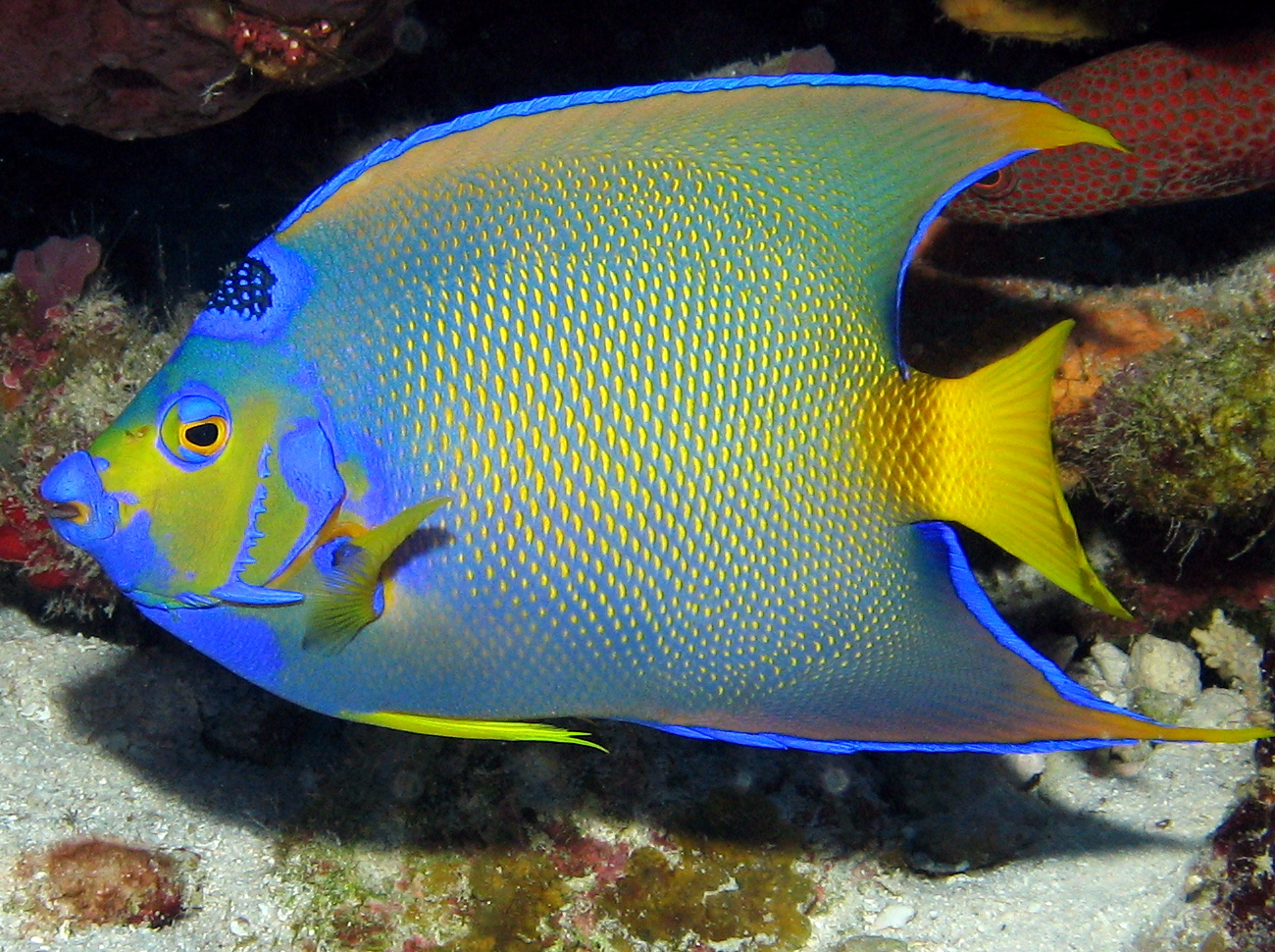 Queen Angelfish Facts And New Pictures All Wildlife Photographs