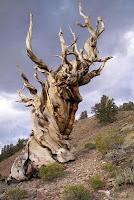 Bristlecone Methuselah tree