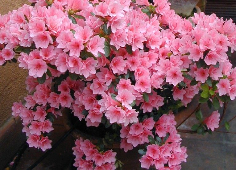 azalea flower meaning  flower, Natural flower