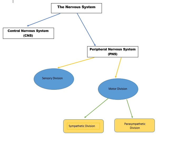 The nervous system an overview think tank centre the easiest way to remember the different components of the nervous system is to see it in a tree diagram ccuart Choice Image