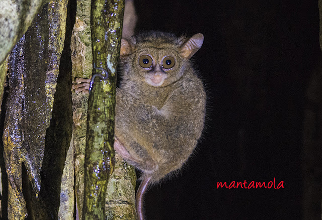 The Spectral Tarsier (Tarsius spectrum)
