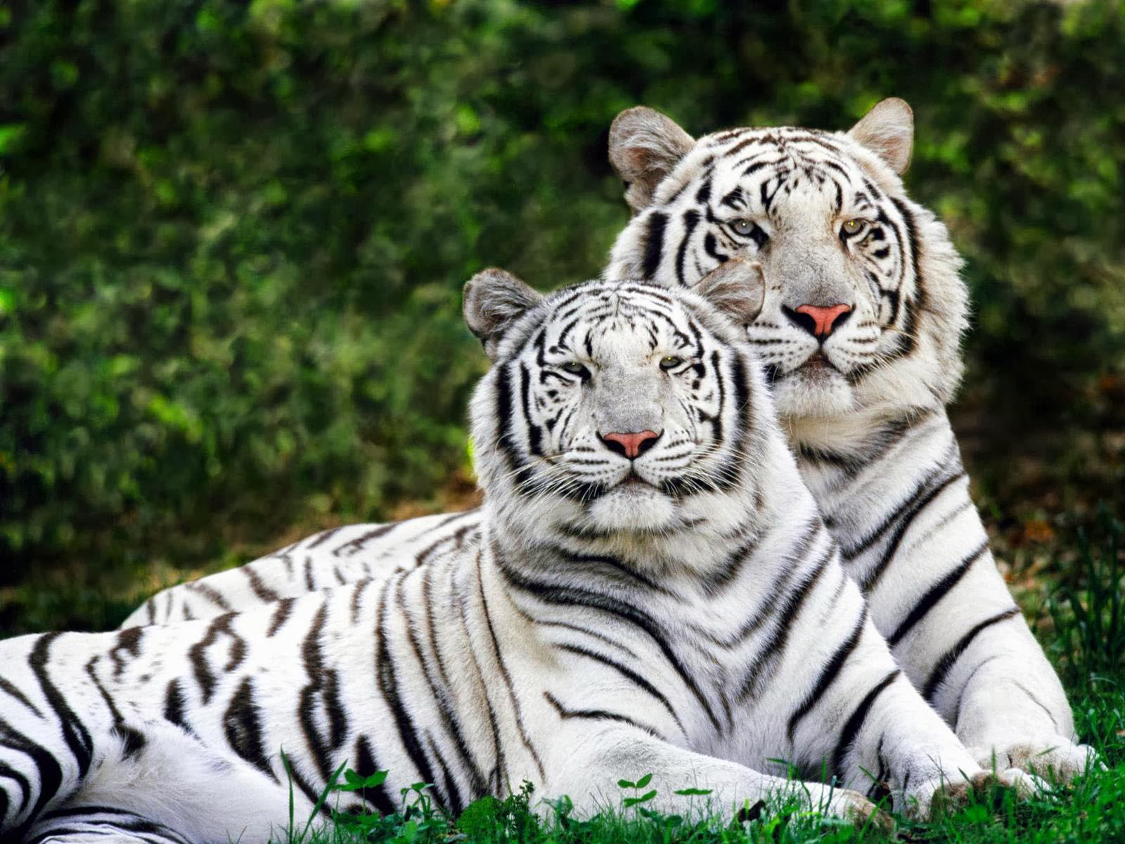 wallpapers: White Tiger Desktop Wallpapers