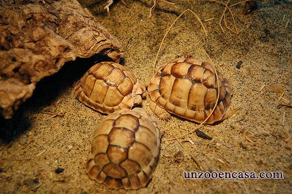 Testudo kleinmanni - Tortuga egipcia