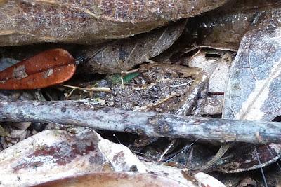 Camuflagem (Espécie não identificada de anuro)