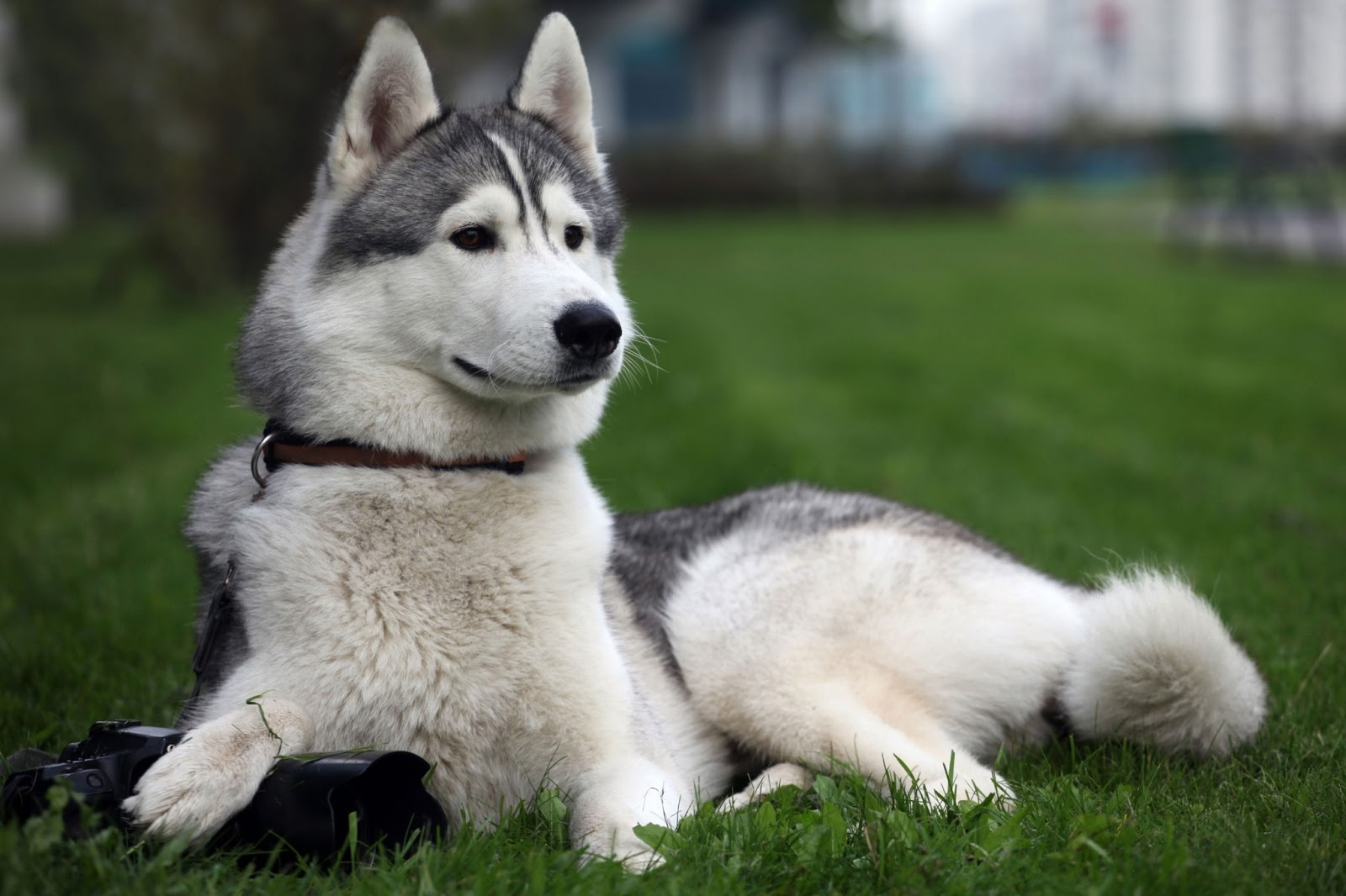 siberian husky snow dogs hd wallpapers | hd wallpapers (high