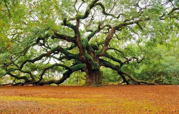 old oak tree, 100 year old tree, oldest tree