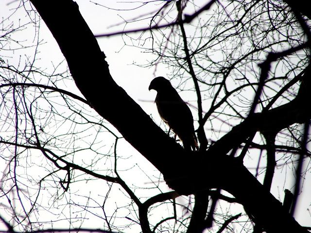 photo of a hawk waiting for a meal atop a leafless tree in January
