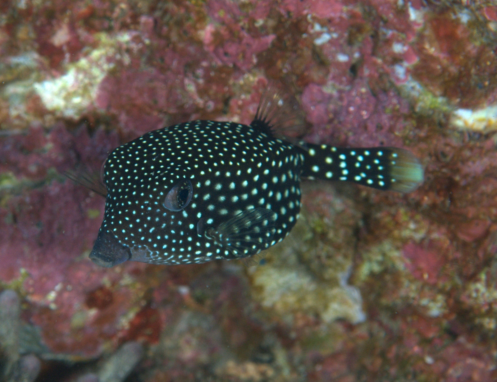 under pressure world: Spotted Boxfish (female)- Socorro Islands, MX