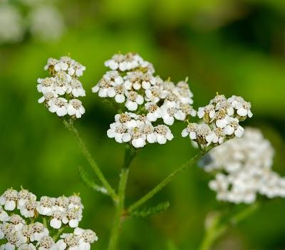Yarrow Achillea millefolium white