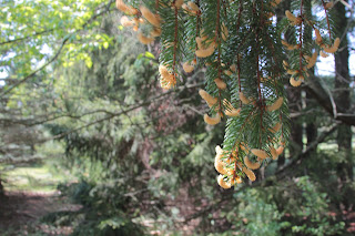 Pine tree catkins are the male pine cones that provide pine pollen with containing many health benefits.