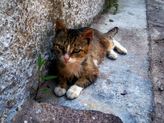 Cat from Mytilini, Lesbos