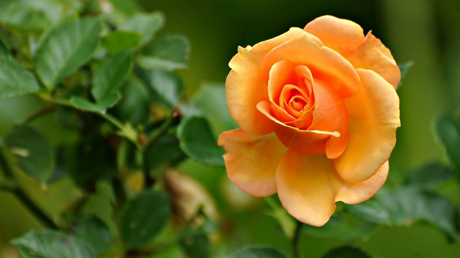 Beautiful yellow orange flower rose hd wallpaper the - Hd flower wallpaper rose ...