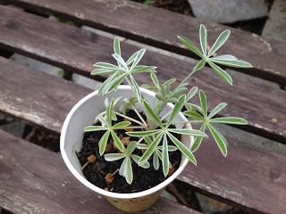 Lupinus albifrons (silver bush lupine)
