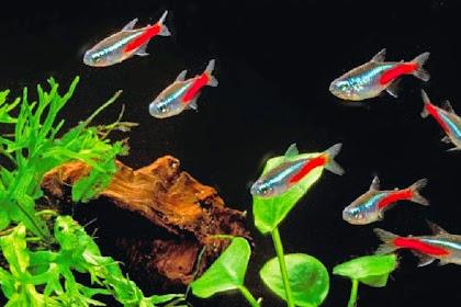 Cara Budidaya Ikan Hias Air Laut Neon Tetra bagi Pemula