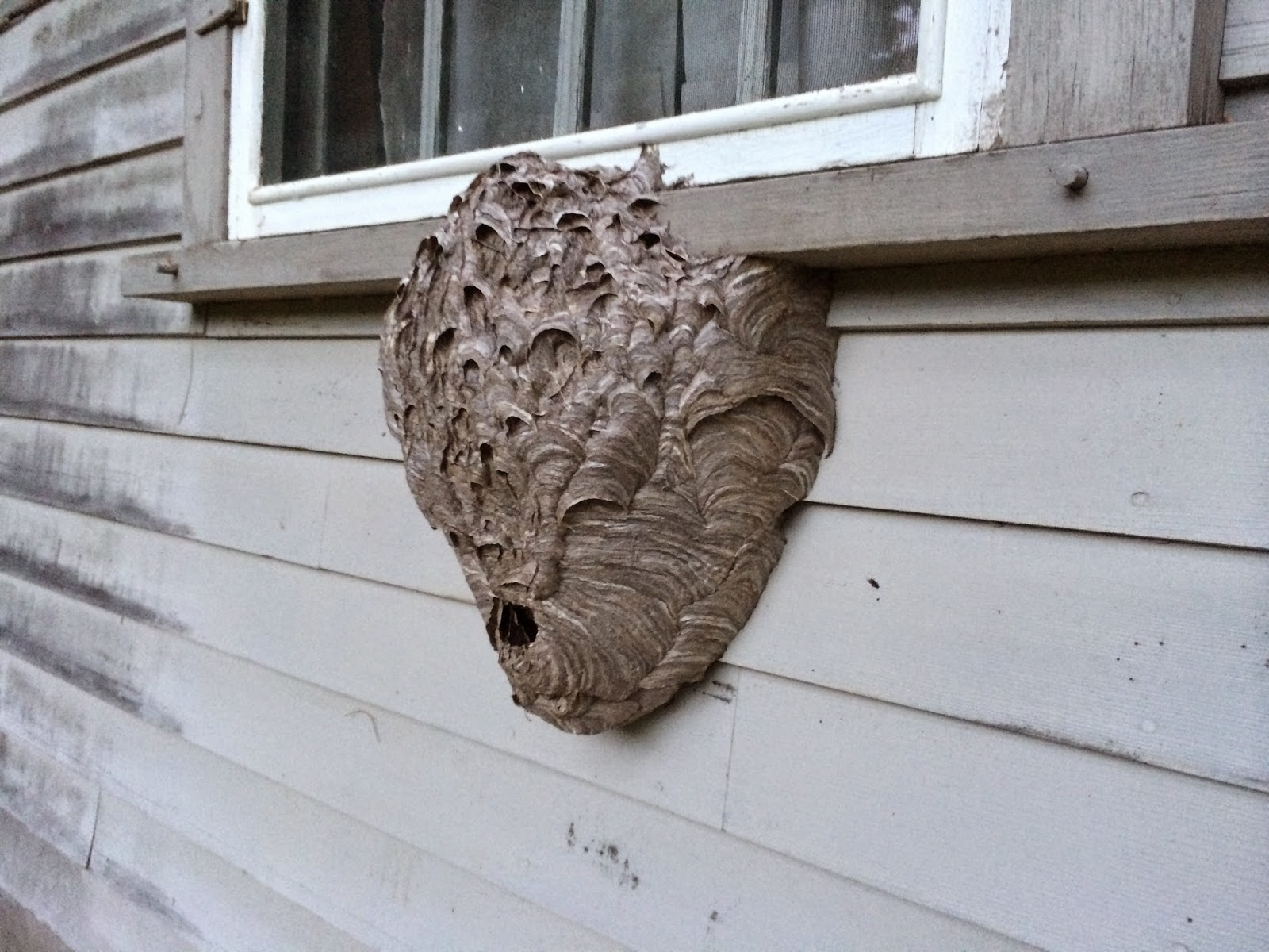 Spicebush Log  A Hornet U0026 39 S Nest