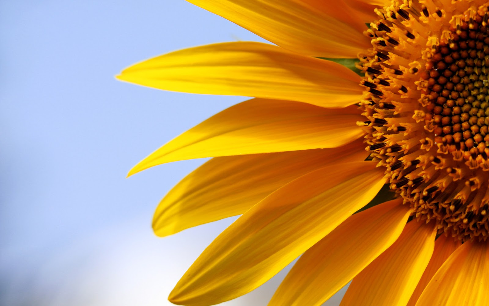 Beautiful Wallpapers beautiful sun flower wallpaper
