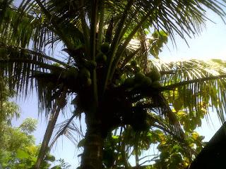 budidaya kelapa