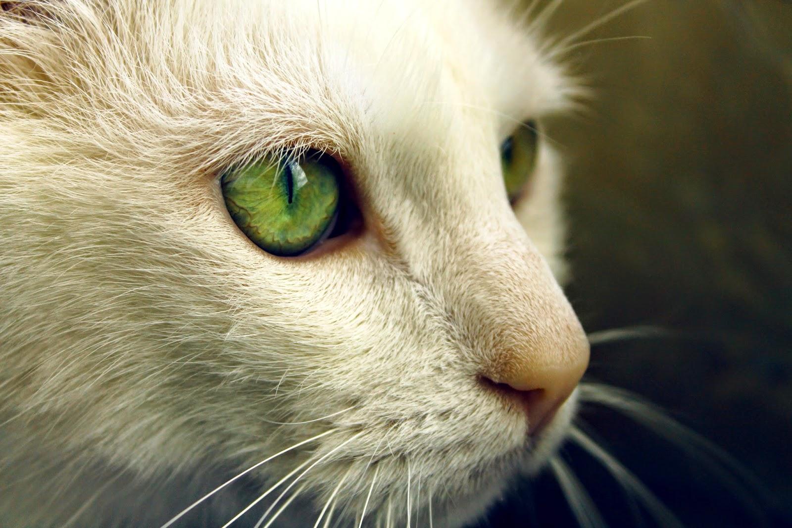 Photo chat blanc au yeux vert
